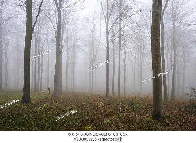 Bare beech trees in a misty woodland at Rowberrow Warren in the Mendip Hills, Somerset, England