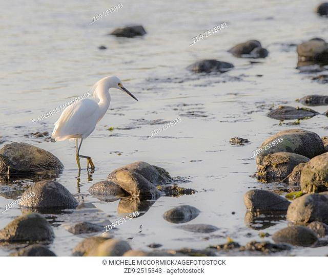 A snowy egret searches for breakfast