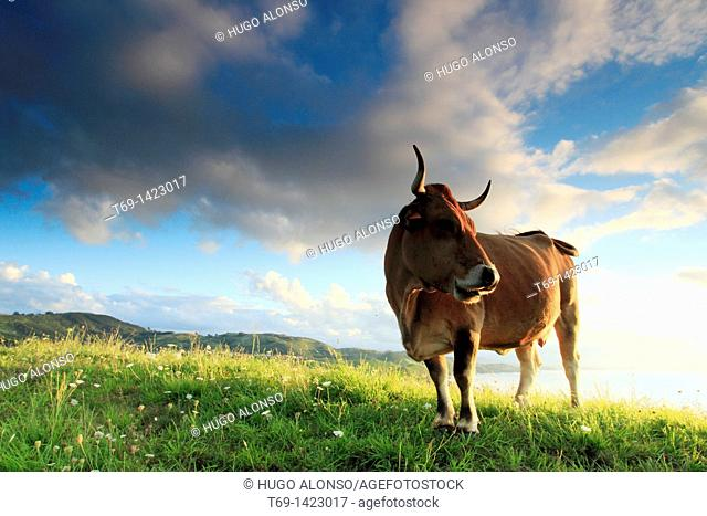 Cows in the grassland, Cantabria, Spain