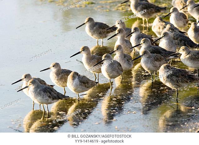 Willets - J N  Ding Darling National Wildlife Refuge - Sanibel Island, Florida USA