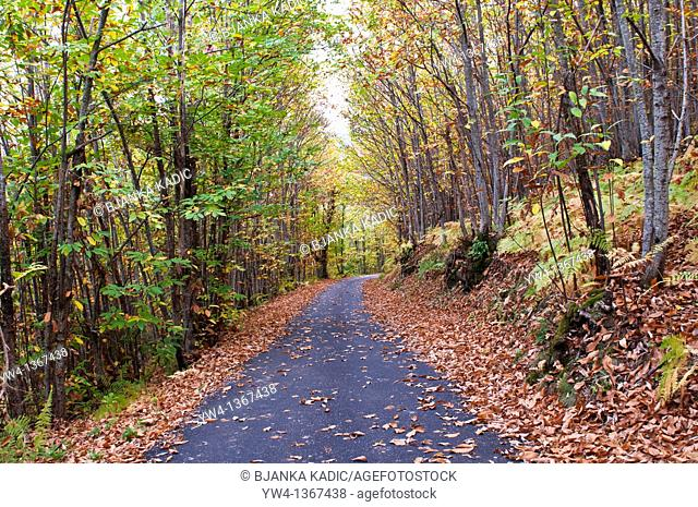 Road in sweet chestnut forest near Le Vigan, Cevennes, France