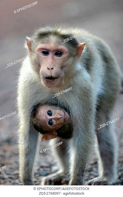 mother and cub. Rhesus Monkey