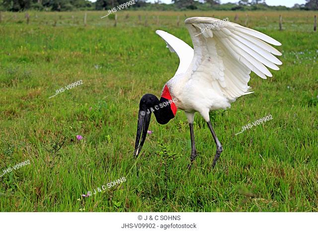 Jabiru, (Jabiru mycteria), adult on meadow feeding on fish, Pantanal, Mato Grosso, Brazil, South America