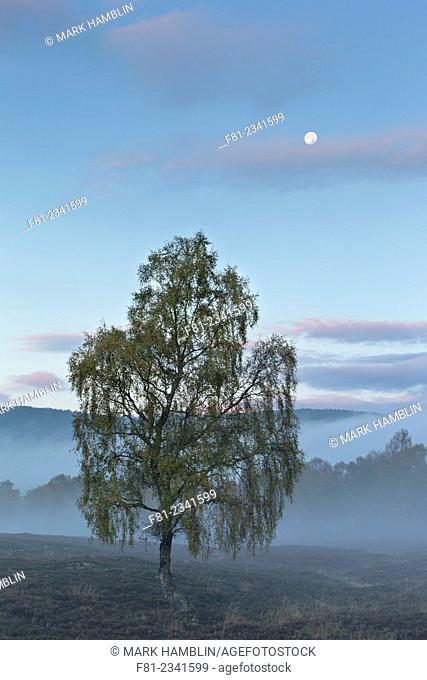 Silver birch (Betula pendula) single tree on moorland in dawn mist