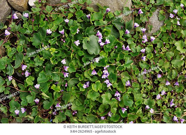 Cymbalaria muralis, Ivy-leaved Toadflax, Wales, UK