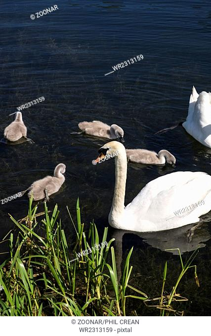 Swans in park