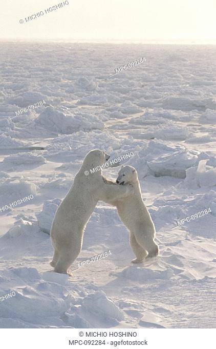 TWO POLAR BEARS (Ursus maritimus) SPARRING ON FROZEN TUNDRA, CHURCHILL, MANITOBA, CANADA
