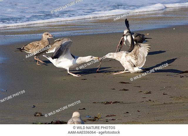 California Gulls (Larus californicus) fighting over Elephant Seal afterbirth; Central California
