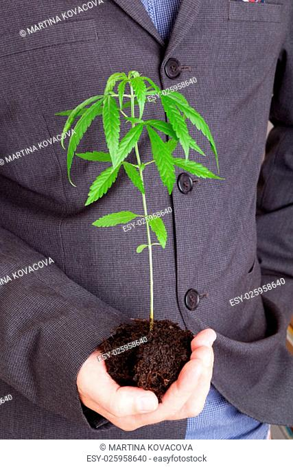 Caucasian handsome man in suit holding young cannabis plant with soil in his hand. Cannabis business