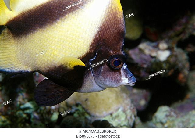 Red Sea Bannerfish (Heniochus intermedius), Red Sea, Egypt, Africa