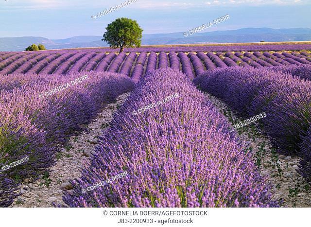 Rows of Lavender field (Lavendula augustifolia) and tree in background, Valensole, Plateau de Valensole, Alpes-de-Haute-Provence, Provence-Alpes-Cote d'Azur