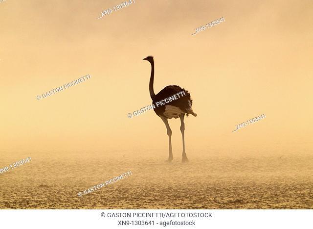 Common ostrich Struthio camelus, in the storm, Kgalagadi Transfrontier Park, Kalahari desert, South Africa