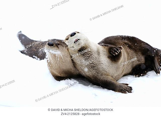 Two North American river otters (Lontra canadensis) playing in snow, Germany, Europe