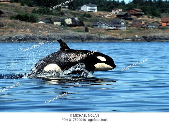 Young Orca, Orcinus Orca, power-lunging in Haro Strait, San Juan Islands, Washington
