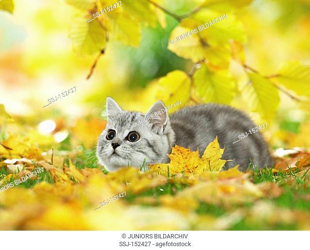 young British Shorthair cat - lying