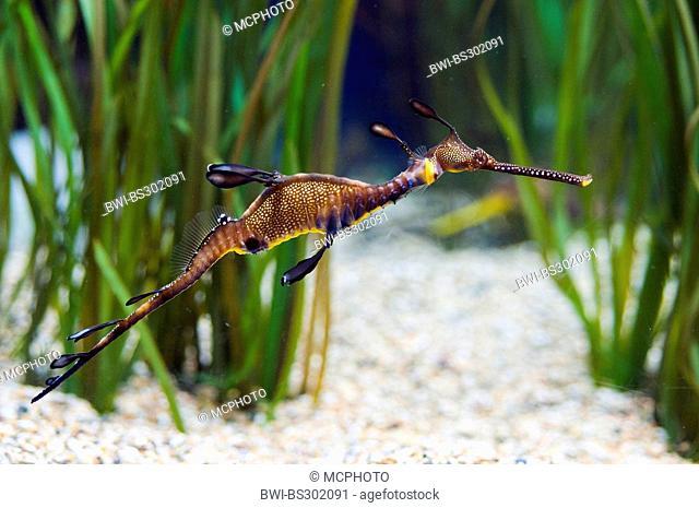 common seadragon, weedy seadragon, leafy seadragon (Phyllopteryx taeniolatus), swimming at gravel ground