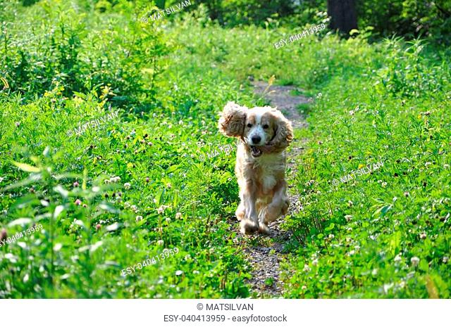 Cocker spaniel dog running in the green forest