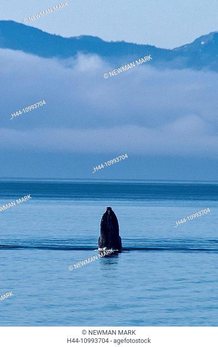 humpback whale, glacier bay, national park, Alaska, USA, whale