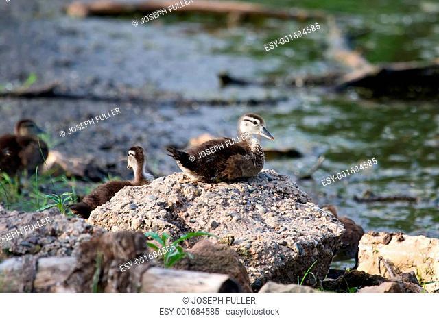 Wood Duck Aix sponsa duckling sitting on a Rock