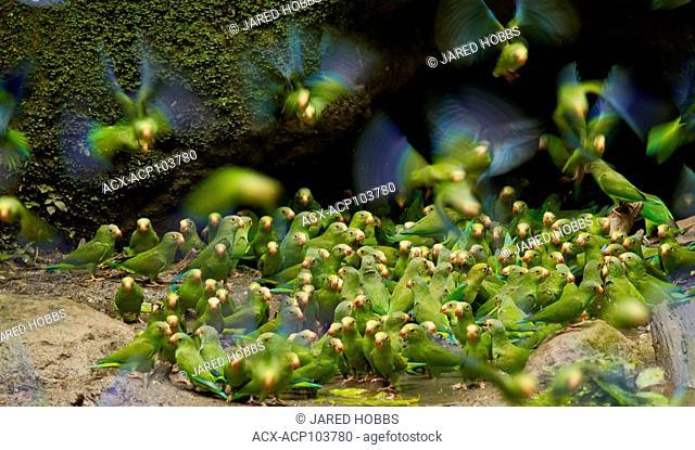 Cobalt-winged Parakeet, Brotogeris cyanoptera, Amazon Rainforest, Ecuador, Central America