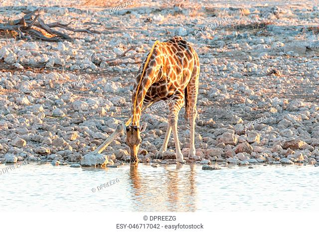 Namibian Giraffe drinking water at sunset