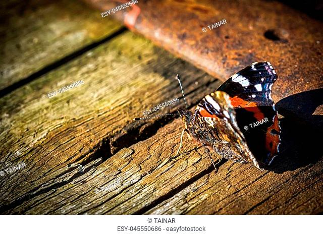 Indian red admiral butterfly on a wooden background close up. Dark toned. Copy space
