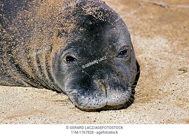 Hawaiian Monk Seal, monachus schauinslandi, Portrait of Adult on the Beach