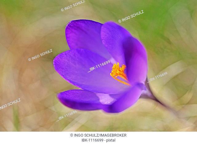 Violet Crocus (Crocus)