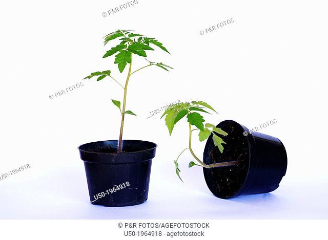 Gravitropism in tomato plant. Plant on right has negative gravitropic response