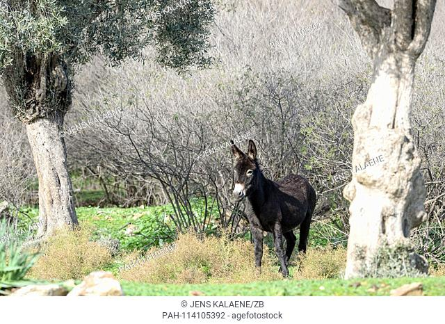 12.12.2018, Turkey, Didim: A donkey stands in the Bafasee Nature Park. The water is an inland lake formed on the western coast of Turkey from an earlier inlet