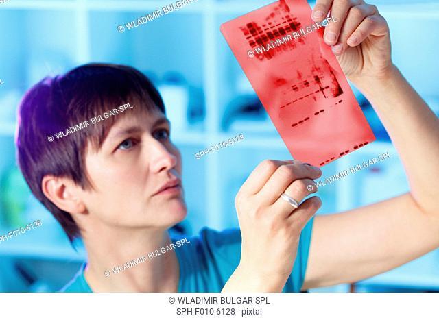 MODEL RELEASED. Female laboratory technician analysing a chromatogram used for genetic fingerprinting