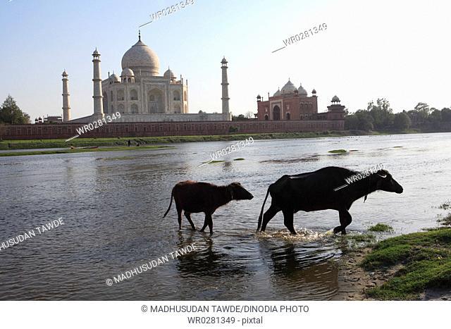 Two buffaloes in Yamuna river at Taj Mahal Seventh Wonders of World , Agra , Uttar Pradesh , India UNESCO World Heritage Site