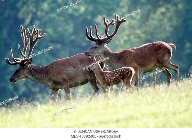 Red Deer - two stags with velvet on antlers and calf (Cervus elaphus)