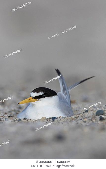 Little Tern (Sterna albifrons). Adult on nest. Germany