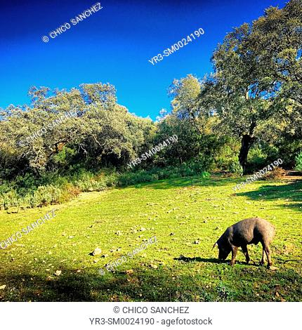 An Iberian pig eats in a meadow in Prado del Rey, Sierra de Cadiz, Andalusia, Spain