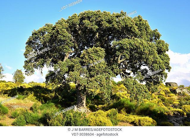 Evergreen oak, holly oak or holm oak (Quercus ilex rotundifolia or Quercus ballota) is an evergreen tree to Iberian Peninsula and north Africa