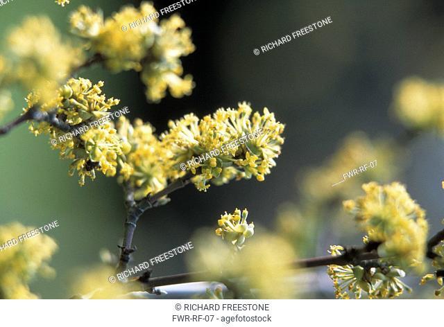 Cornus mas, Cornelian cherry