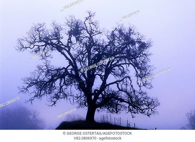 Oak in fog, North Bank Habitat Management Area, Roseburg District Bureau of Land Management, Oregon