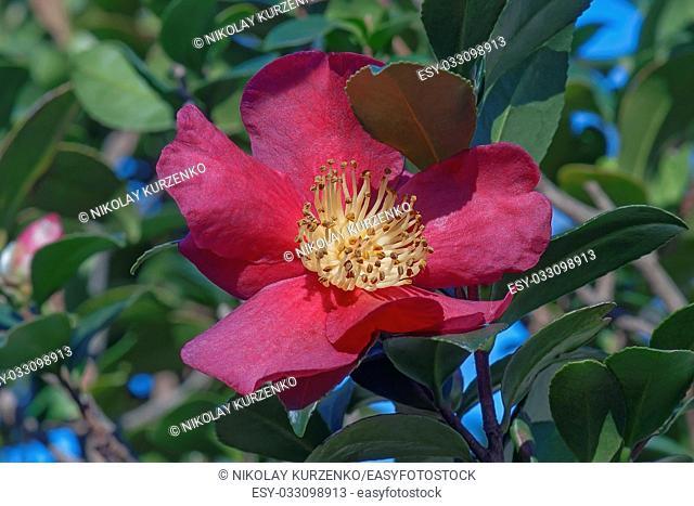 Sasangua camellia (Camellia sasangua)