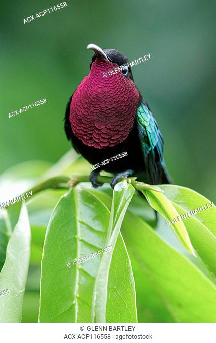 Purple-throated Carib (Eulampis jugularis) perched on a branch on the Caribbean Island of Martinique
