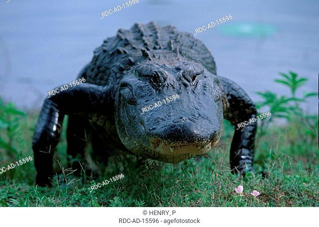 American Alligator Texas USA Alligator mississippiensis