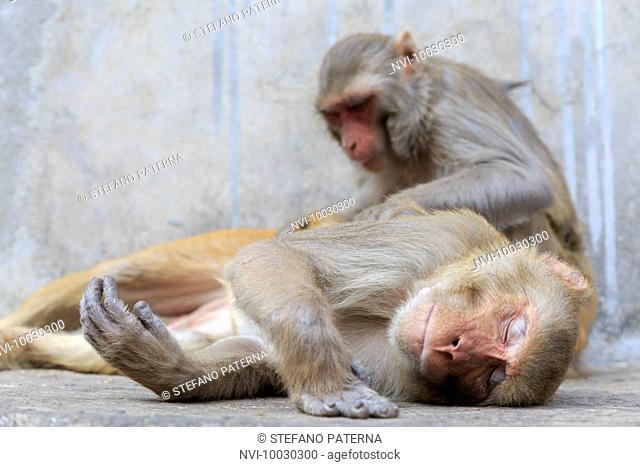 Galtaji, Monkey Temple Plant, near Jaipur, Rajasthan, India