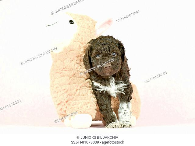 Lagotto Romagnolo. Puppy (5 weeks old) standing inext to toy sheep. Studio picture against a white background. Germany