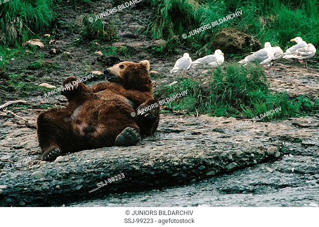 ursus arctos middendorffi / Alaska brown bear lying on the back nearby water