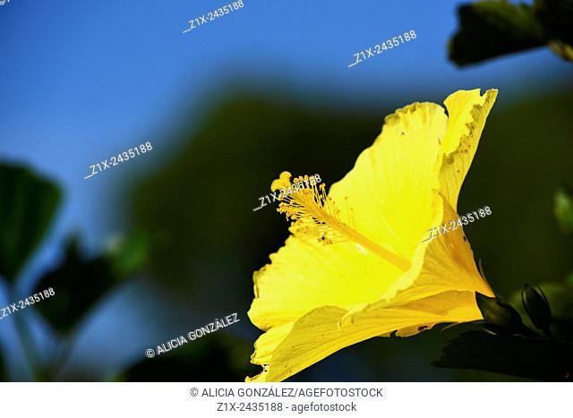 Hibiscus yellow Venezuela