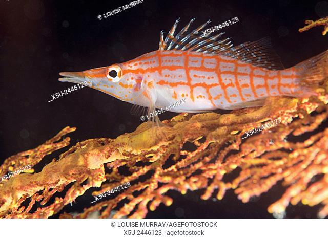 Longnose hawkfish,Oxycirrhites typus usually found on gorgonian sea fans, Subergorgia mollis - a hard coral species found in high current areas