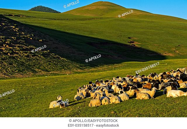 A resting flock of goats, Orkhon Valley, Mongolia