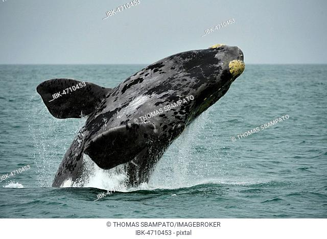 Southern right whale (Eubalaena glacialis), breaching, jumps out of the water, Lüderitz, Atlantic, Namibia