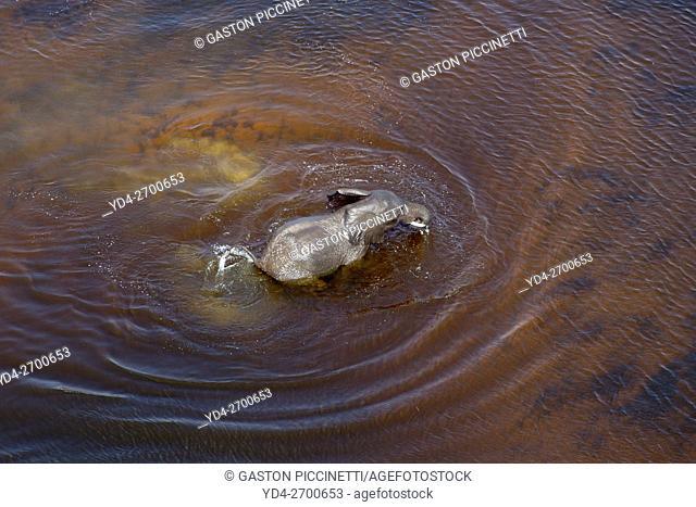 African Elephants (Loxodonta africana),in the freshwater marsh, aerial view, Okavango Delta, Botswana. . The Okavango Delta is home to a rich array of wildlife
