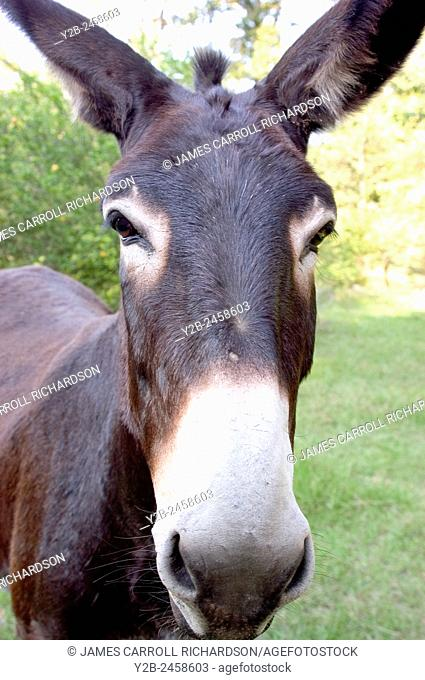 Mule gazing into camera in north Mississippi